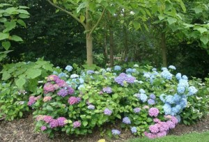 The Shamrock gardens near Dieppe are home to the national collection of hydrangeas