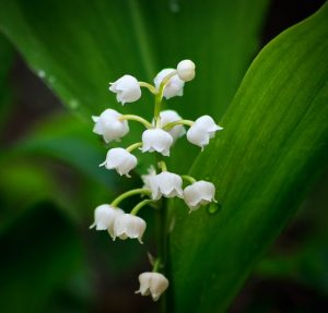 Lily of the valley on May Day in France
