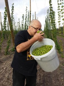 Fresh hops used in maing artisanal beer